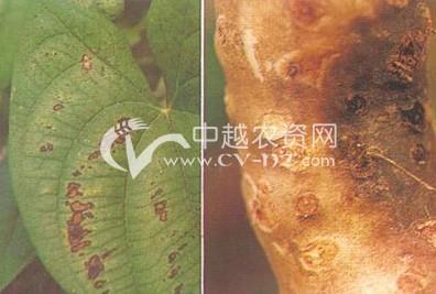 山药薯蓣色链隔孢褐斑病