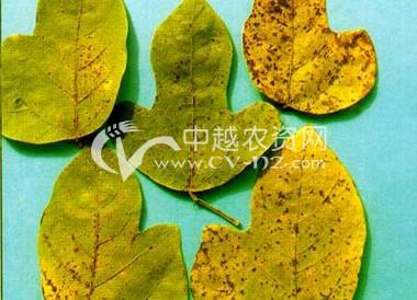 葛(粉葛)细菌性叶斑病