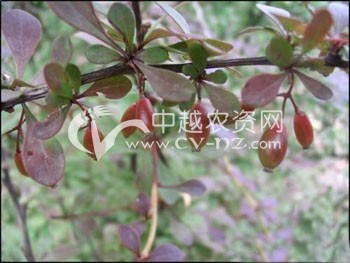 小檗白粉病