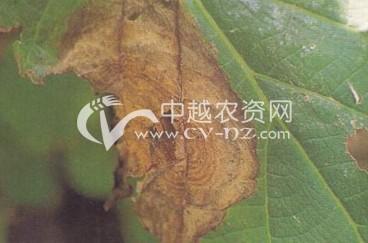 猕猴桃轮斑病