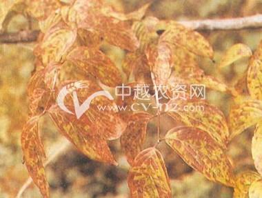 山茱萸角斑病