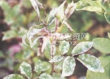 蔷薇白粉病