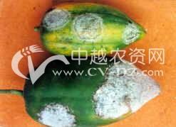 番木瓜霜疫病