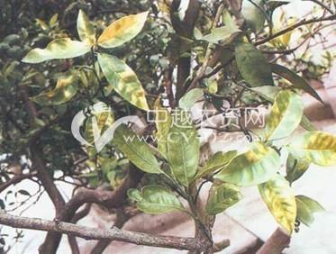 柑橘(陈皮)黄龙病
