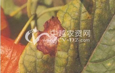 酸浆(锦灯笼)叶斑病