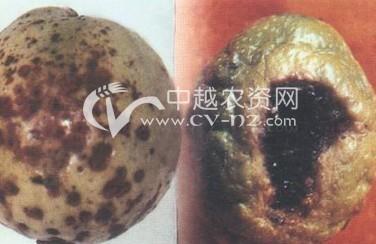 番石榴褐斑病