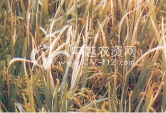 稻白叶枯病