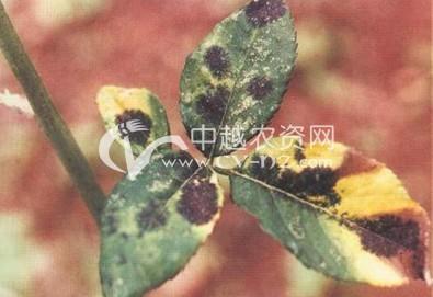 玫瑰、月季黑斑病