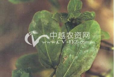 金银花(忍冬)白粉病