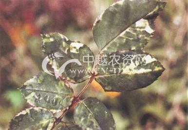 玫瑰、月季病毒病