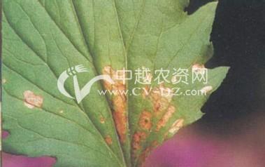菊花叶斑病