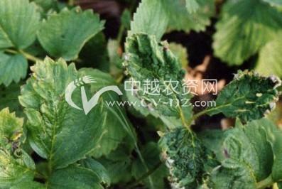 草莓病毒病