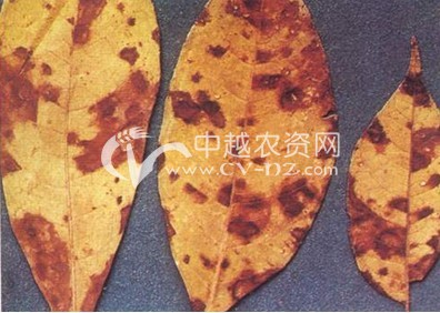 黄柏、黄皮树褐斑病