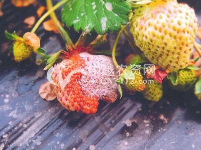 草莓疫霉果腐病