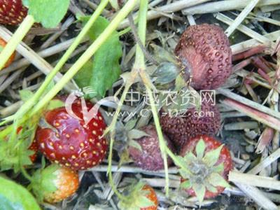 草莓革腐病