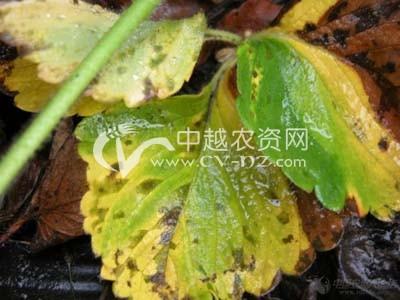草莓细菌性角斑病