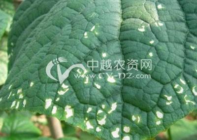 黄瓜细菌性角斑病