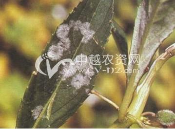 凤仙花白粉病