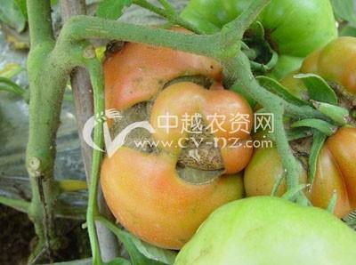 番茄畸形果和空洞果