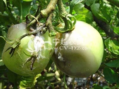 番茄绵腐病