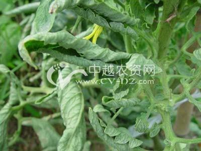 番茄生理性卷叶病