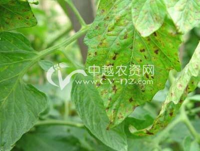 番茄细菌性斑疹病