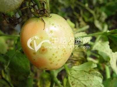 番茄芝麻斑病