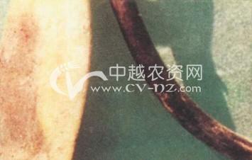 香草兰茎腐病