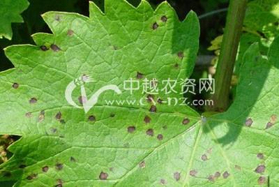 葡萄假尾孢褐斑病