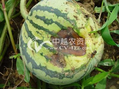 西瓜果实腐斑病