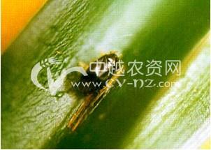 茶树绿盲蝽