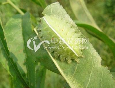 茶树扁刺蛾