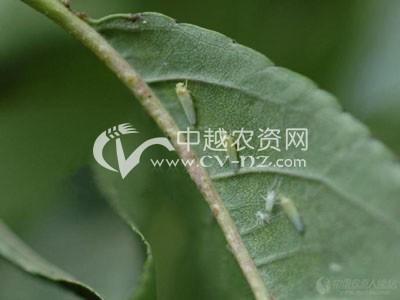 水稻小绿叶蝉