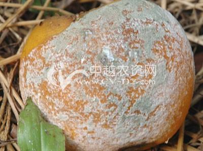 柑橘青霉病