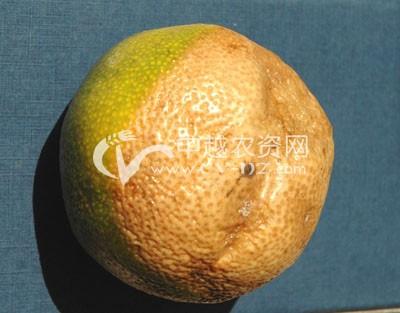 柑橘炭疽病