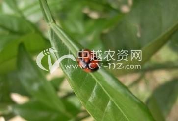 柑橘红蜘蛛