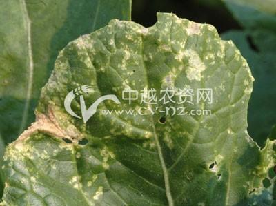 白菜白斑病