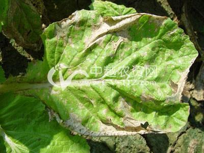 白菜褐斑病
