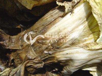 白菜菌核病