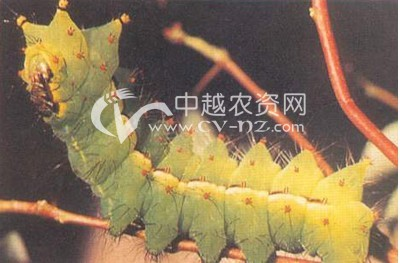 绿尾大蚕蛾