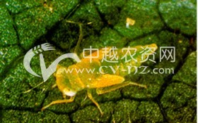 棉花小绿叶蝉