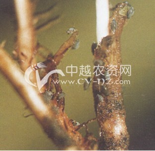 榆四脉绵蚜