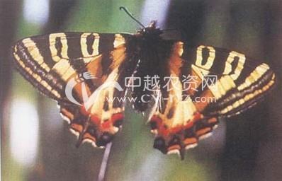 中华虎凤蝶