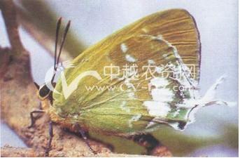 黄栀子灰蝶