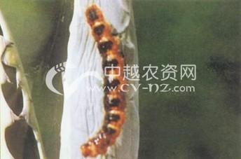 中华金带蛾