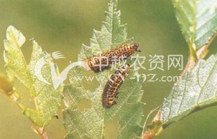 榆黄金花虫