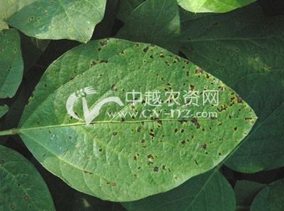 大豆细菌性斑点病