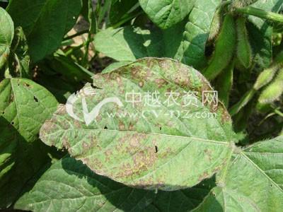 菜用大豆细菌性斑疹病