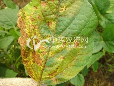 菜用大豆紫斑病