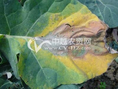花椰菜黑腐病